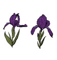 hand-drawn iris set in on white background vector image vector image
