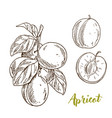 apricots branch with leaves half of the fruit vector image