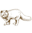 engraving drawing of arctic fox vector image vector image
