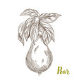 pears hand drawn sketch vector image vector image