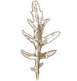 engraving of arugula wild rocky vector image