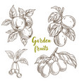 garden fruits apples apricots cherries plums vector image