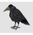 wild crow on transparent background vector image vector image