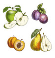 garden fruits apples pears plums apricots vector image