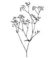 hand drawn gypsophila branch vector image vector image