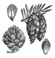 Black Spruce vintage engraving vector image vector image