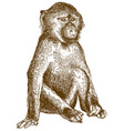 engraving of baboon cub vector image