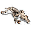 skeleton of anteater isolated on white background vector image vector image