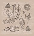 dandelion pharmacy retro medical benefits i vector image vector image