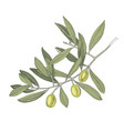 hand drawn colorful olive tree branch vector image vector image