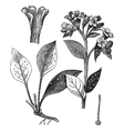 Lung officinale vintage vector image vector image