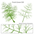 Fresh and green dill vector image