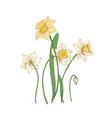 blooming tender narcissus flowers isolated on vector image vector image