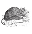 Vintage Brown rat Sketch vector image vector image