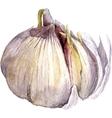 watercolor drawing garlic vector image