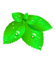 mint leaves fresh vector image vector image