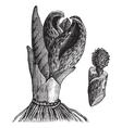 Vintage Skunk cabbage Sketch vector image vector image