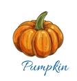 Orange autumn pumpkin vegetable sketch vector image