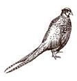 antique engraving pheasant vector image vector image