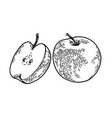 apple engraved sketch vector image
