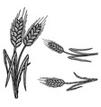 set wheat spikelets in engraving style vector image