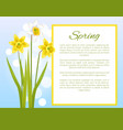 spring flower poster with text daffodil narcissus vector image vector image