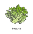 sketch hand-drawn green lettuce vector image