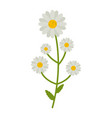 chamomile flowers flat icon wild flowers plant vector image vector image
