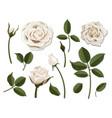 set white rose flower parts vector image