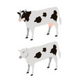 white cows with black sports vector image