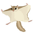 animals the flying squirrel vector image