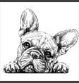 french bulldog vector image vector image