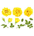 realistic yellow rose set 3d roses vector image