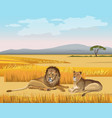 the lioness and the lion lay in the savanna vector image vector image