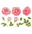 realistic pink rose set 3d roses vector image vector image