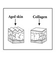 skin under the influence of collagen vector image