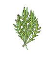 hand drawn icon of green fresh arugula rucola vector image
