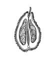 durian fruit slice doodle slice fruit vector image vector image