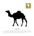 black silhouette of camel on white background vector image vector image
