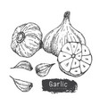 garlic set 2 vector image vector image
