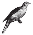 domestic turtle dove vintage vector image