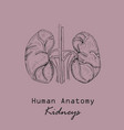 handdrawn human kidneys vector image vector image