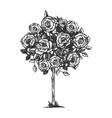rose bush engraving vector image