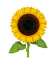realistic detailed sunflower flower vector image vector image