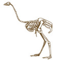 engraving of ostrich skeleton vector image vector image