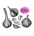 ink sketch of garlic vector image vector image