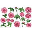 peony flowers and leaves set vector image vector image