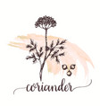 coriander hand drawn on vector image