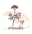 coriander hand drawn vector image vector image