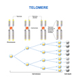 telomere vector image vector image